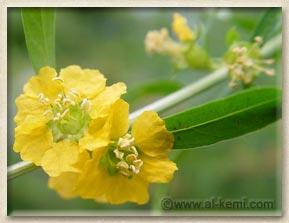 Heimia flower