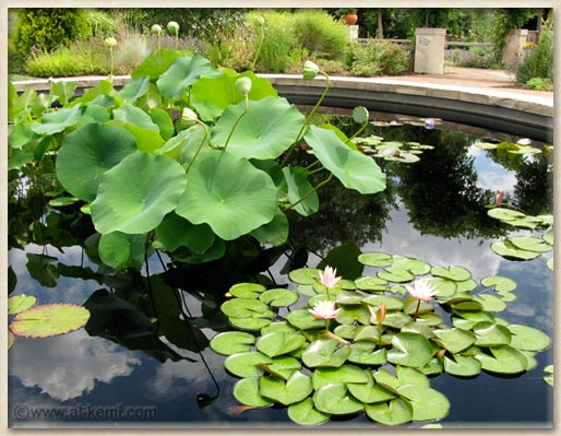 Lotuses & Waterlilies