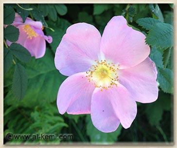 rosaw